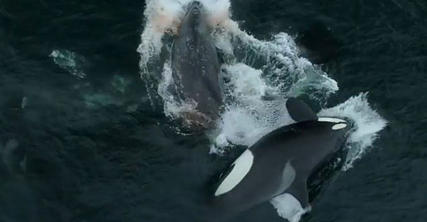 Gruesome moment a pod of Orcas swarm and attack gray whales
