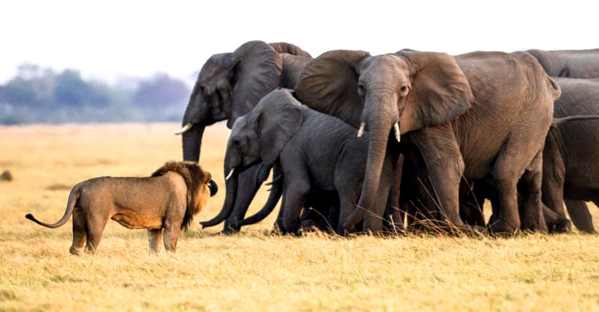 Elephant calf is rescued by its elders as lions try to bring it down