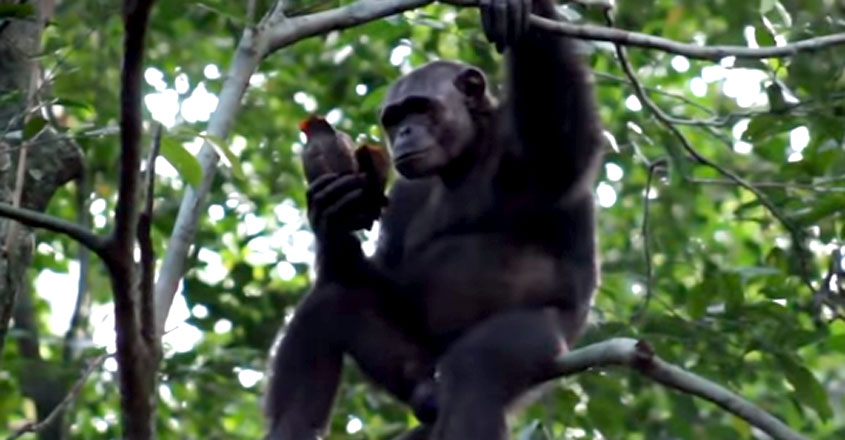Chimpanzees spotted smashing open and eating tortoises