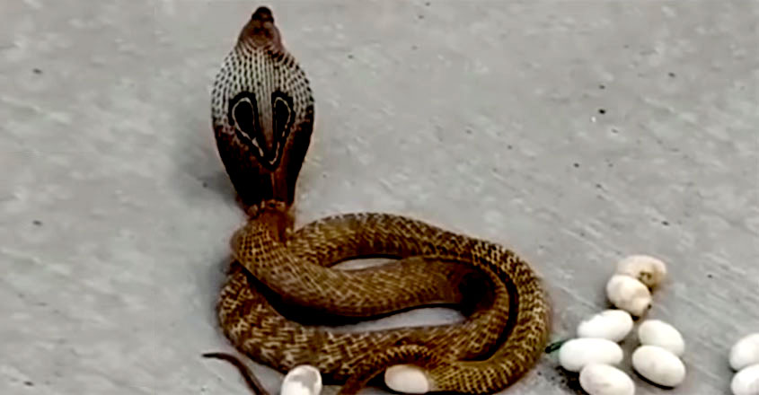 Cobra Snake Lays 14 Eggs in Middle of Busy Karnataka Road