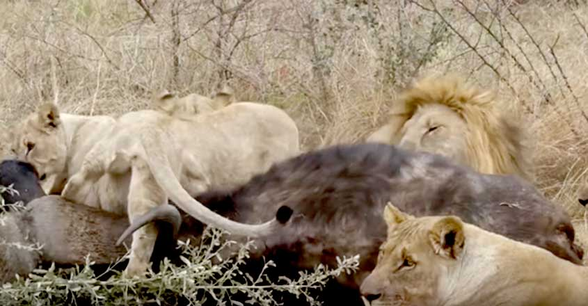 Pride Of Lions Brutally Suffocate A Buffalo To Death While Eating It Alive