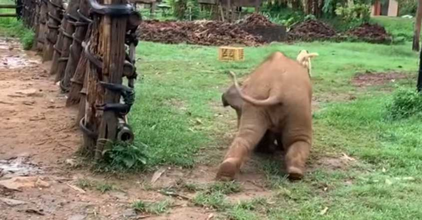 Clumsy baby elephant trips while chasing dogs