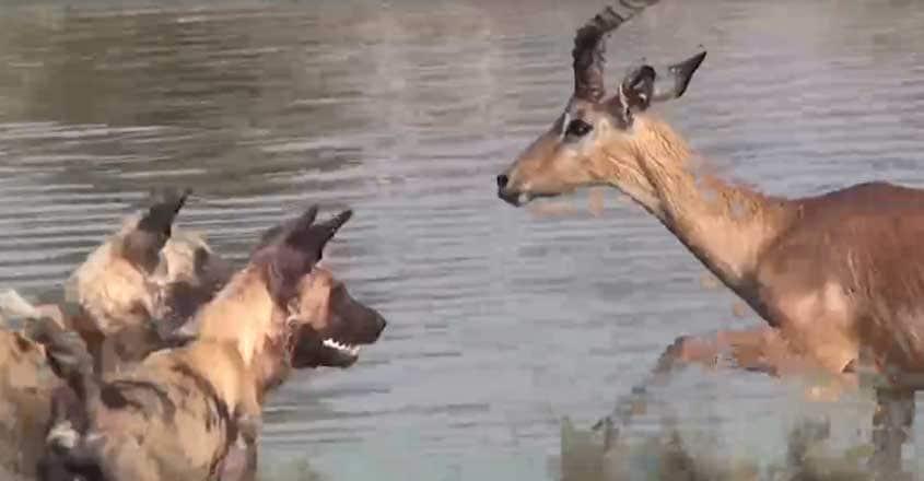 Tragic Moment Impala Beats Off Hungry Crocodile