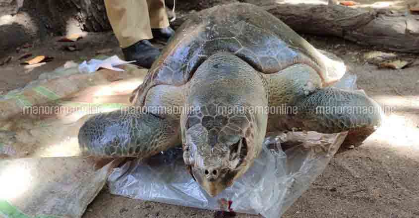 Dead Olive Ridley Sea Turtle Washes Ashore In Kovalam