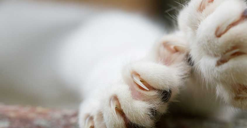 Declawing Cats