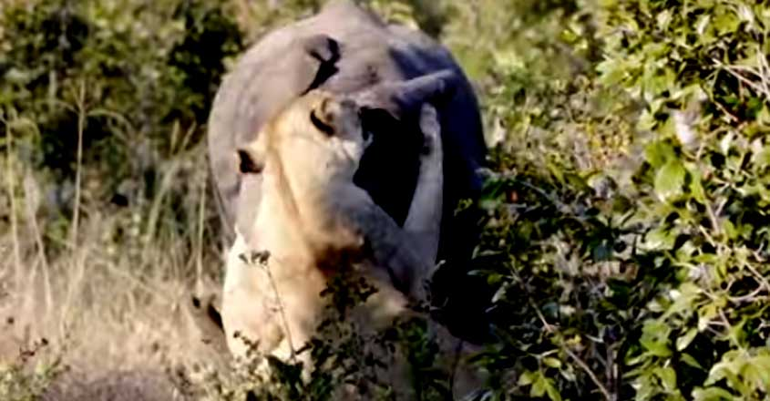 lioness attempting to take down a juvenile elephant