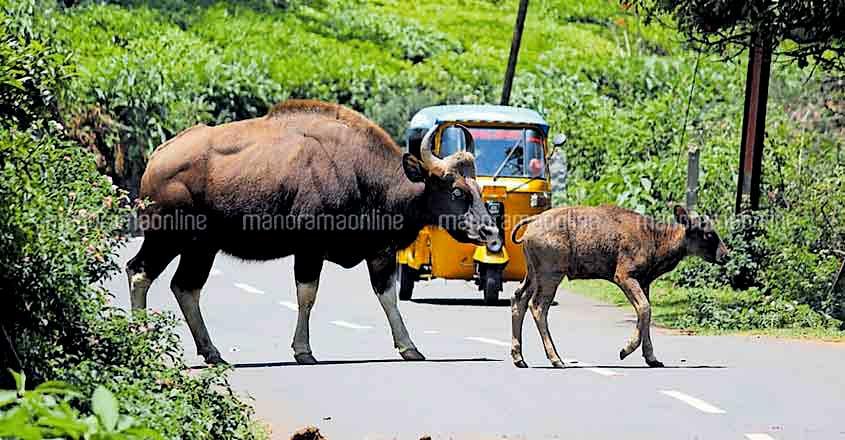 Ferocious gaurs raid human habitations in Nilgiri hills