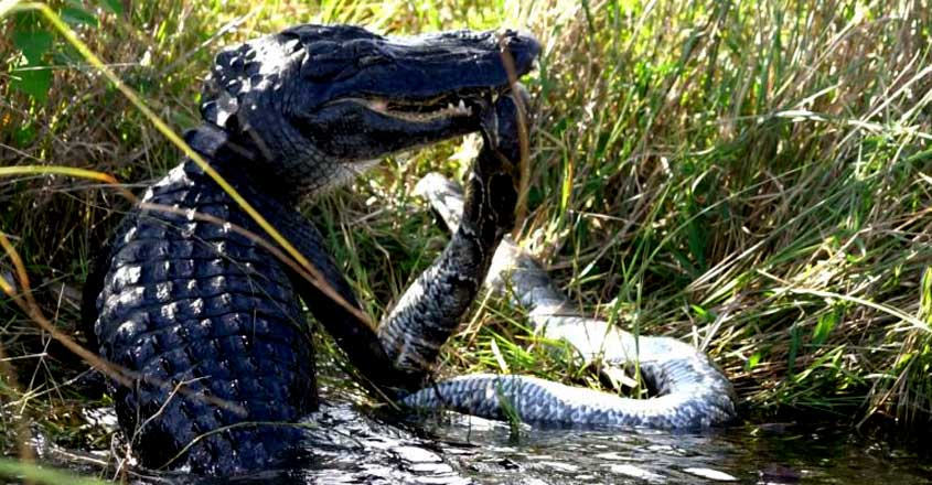 Python finds itself in a real bind after alligator grabs it in its jaws