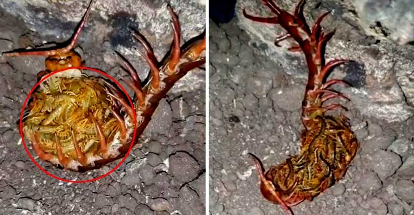 centipede cared for its babies