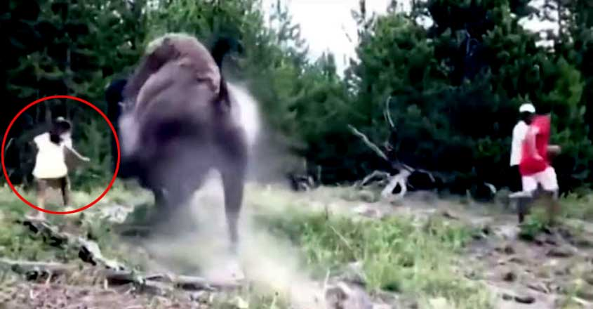 Yellowstone Bison Flinging 9-Year-Old Girl Into The Air