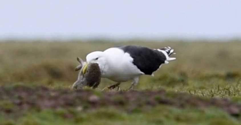 Seagull swallows rabbit whole