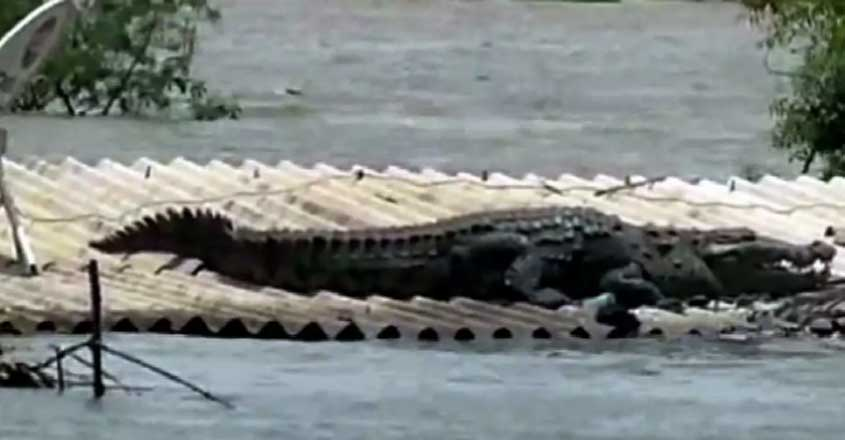 Crocodile spotted on rooftop in flood-affected Karnataka