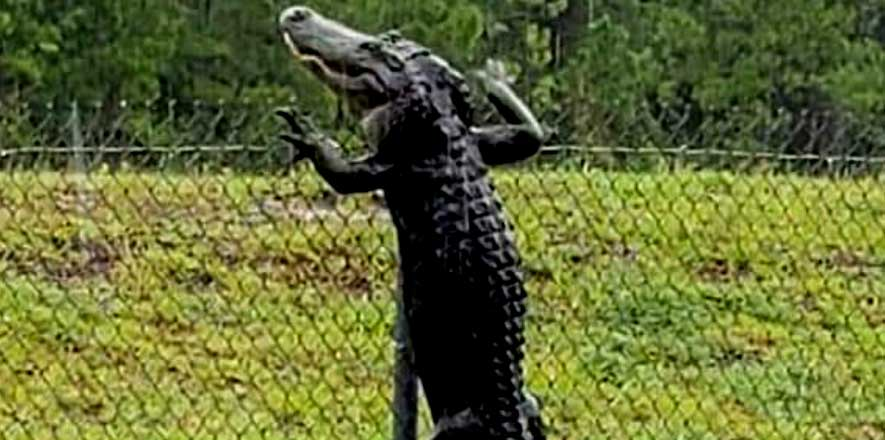Alligator spotted scaling high fence at US
