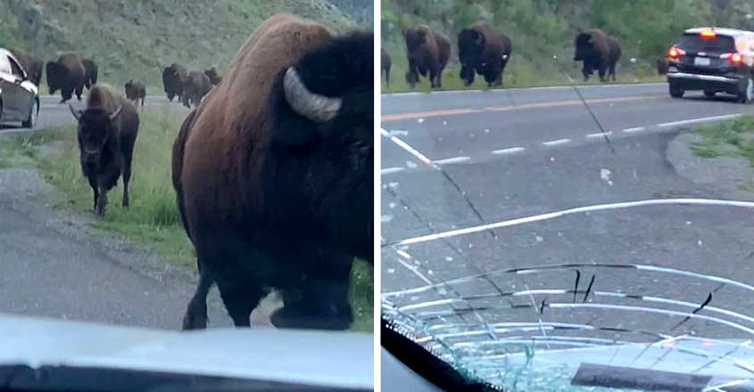 Terrifying moment bison stampede crushes rental car with family
