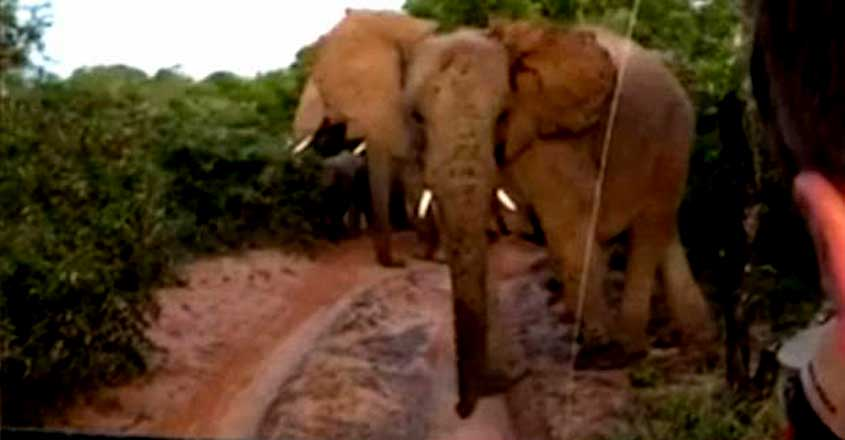 safari guide stops a giant wild elephant in its tracks