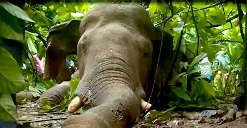 Wild elephant dies due to electrocution