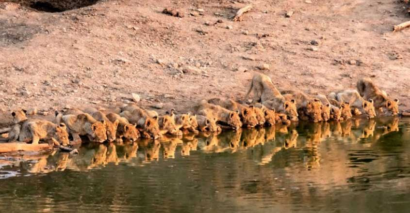 Pride of lions drink together from the same watering hole