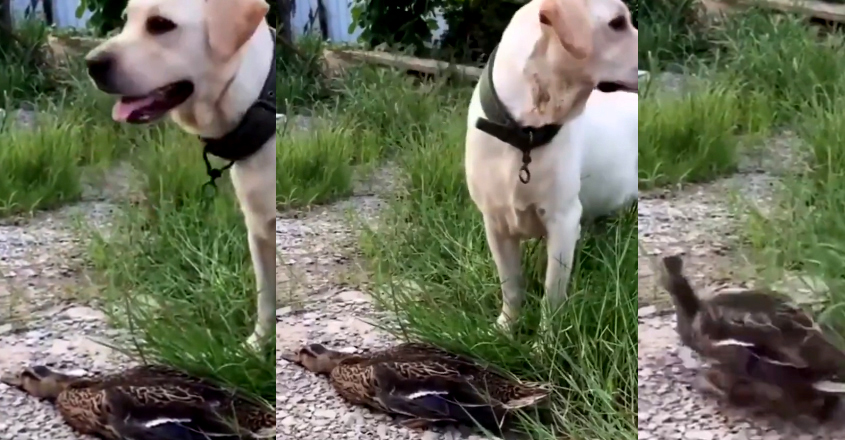 Duck Pretends To Be Dead In Front Of Dog