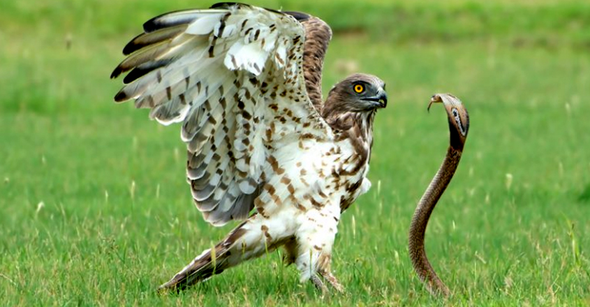 snake in the grass! moment hungry eagle caught off-guard by cobra