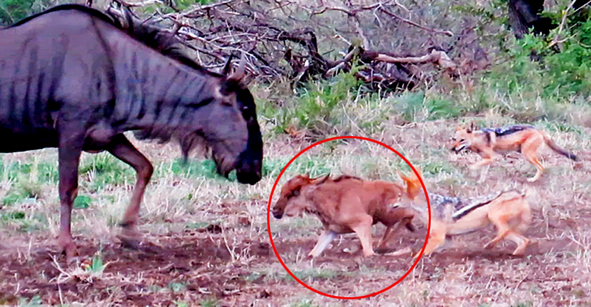 Wildebeest Desperately Tries Saving Baby from Hungry Jackals