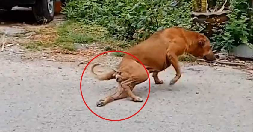 Dog in Thailand Cheats People by Faking a Broken Leg