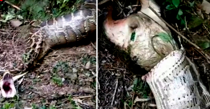 Farmer finds python regurgitating his missing 40kg goat after swallowing it whole