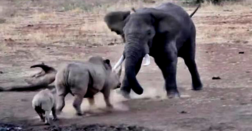 Angry Elephant Tramples Rhino And Calf