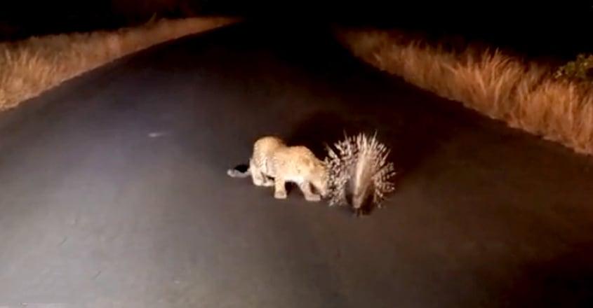 leopard fail to hunt porcupine