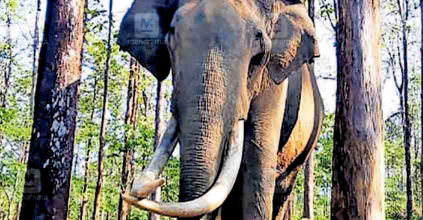 Wayanad's beloved wild tusker Maniyan