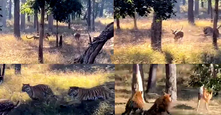 2 Tigers Chasing Deer At Pench National Park