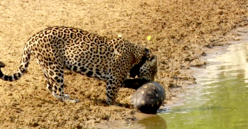 crafty tortoise managed to protect itself from being eaten by a hungry jaguar