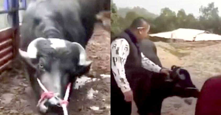 Cow 'Begs' To Be Spared From Slaughter In Heartbreaking