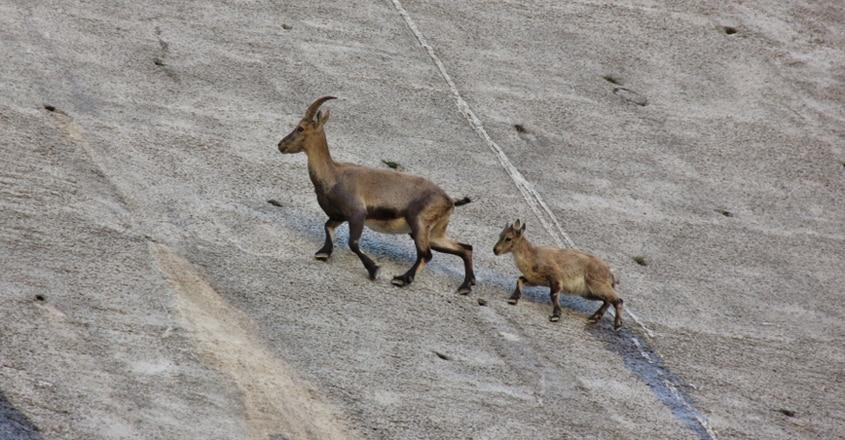 The Dam Climbing Alpine Ibex