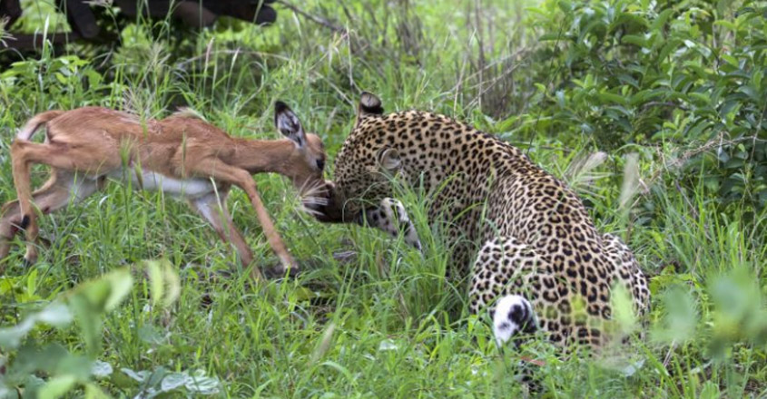 Hungry leopard caught on camera playing with impala