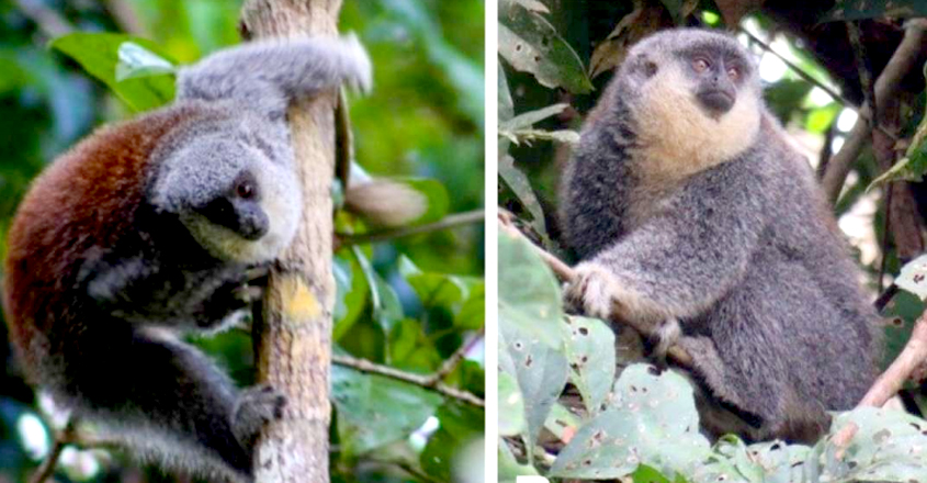 Adorable New Species Of Fuzzy Titi Monkey Discovered In Brazilian Amazon