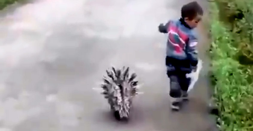 Porcupine Walking With A Kid