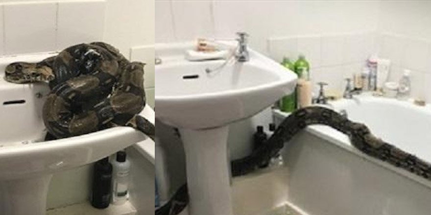 Woman Finds 8-Foot Boa Constrictor In Bathroom