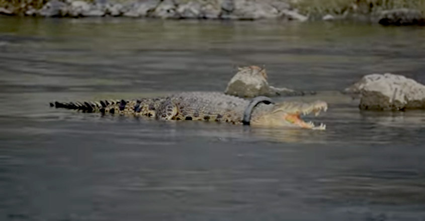 Indonesia offers reward for rescuing crocodile after video of its neck stuck in tyre
