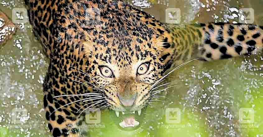 Leopard trapped in Wayanad well