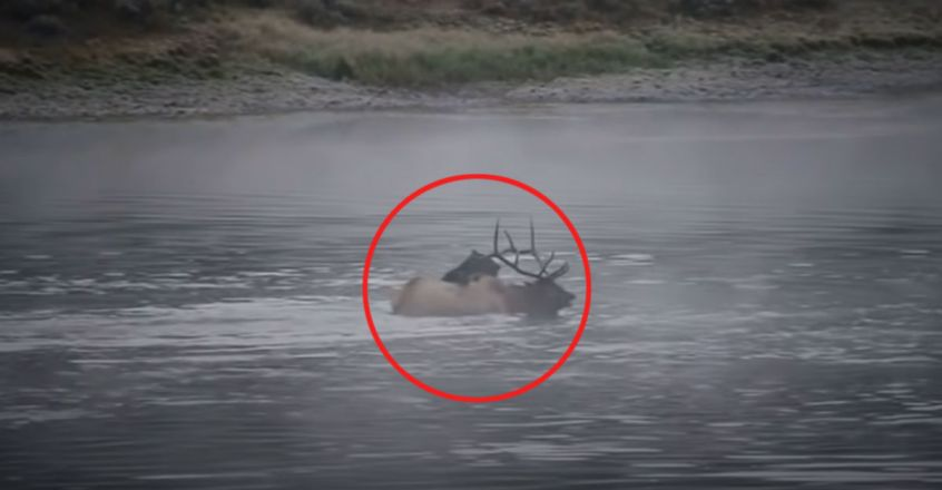 Grizzly bear takes down elk bull in dramatic, semi-submerged hunt