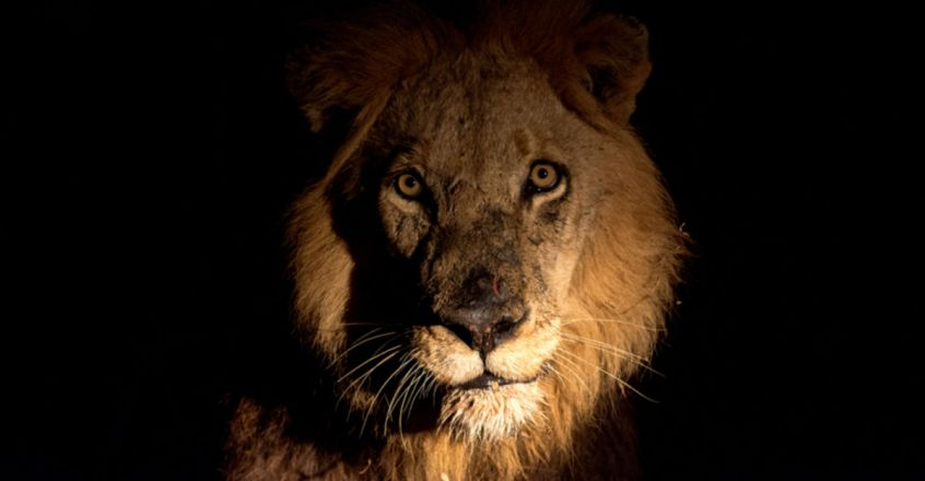 Gir Forest Guard, Going Home At Night, Finds Lion On Road