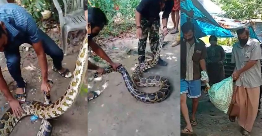 Python fails to escape from coop after eating Ducklings