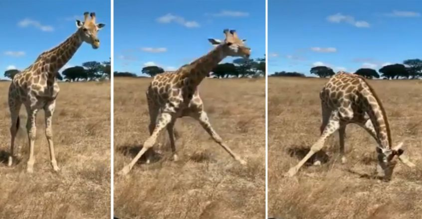 Over 9 Million Views For Hilarious Video Showing How A Giraffe Eats Grass