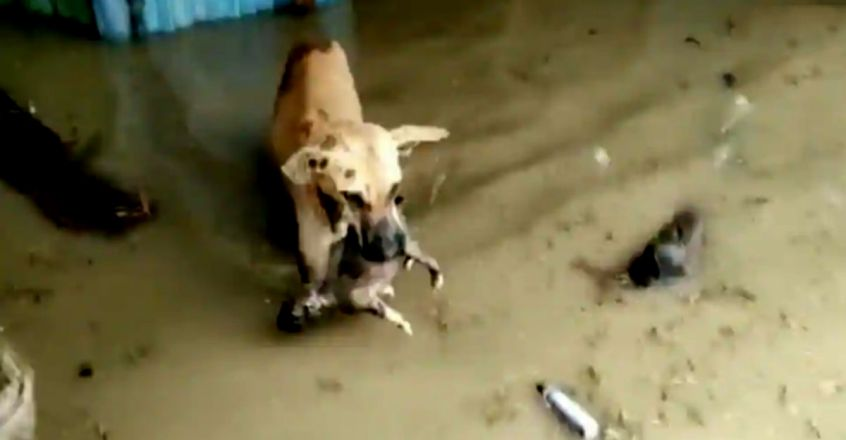Mummy dog rescues pup from Karnataka's flood-affected village