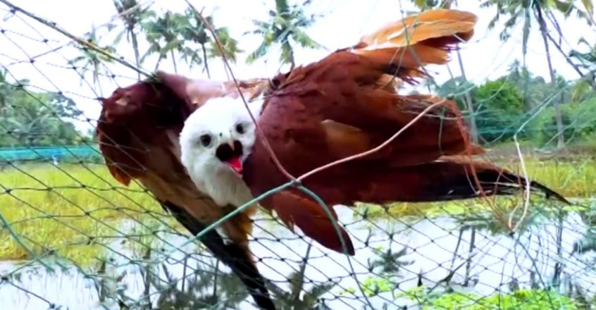 EagleTrapped in Net Gets a Second Chance at Life