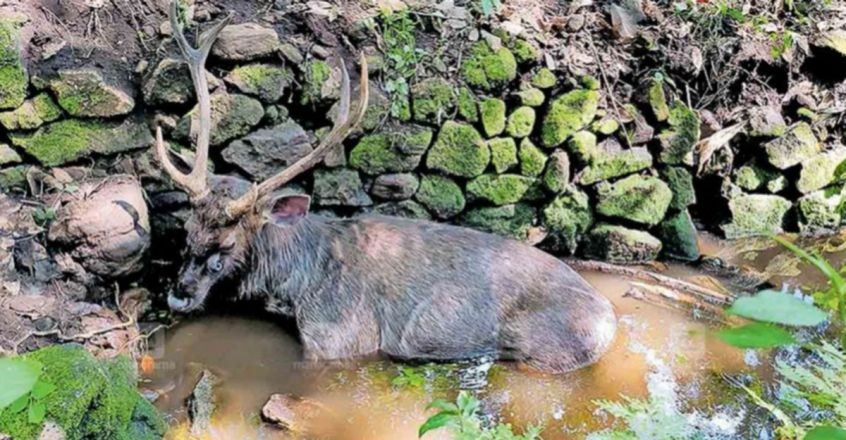 Officials rescue injured Sambar Deer