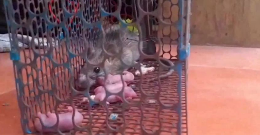 Mouse Giving Birth 4 in Mouse Trap