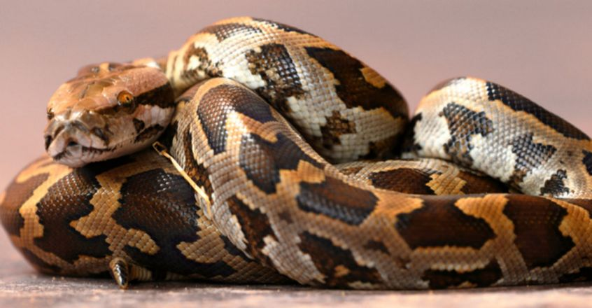 python rescued from car in Haryana, later released