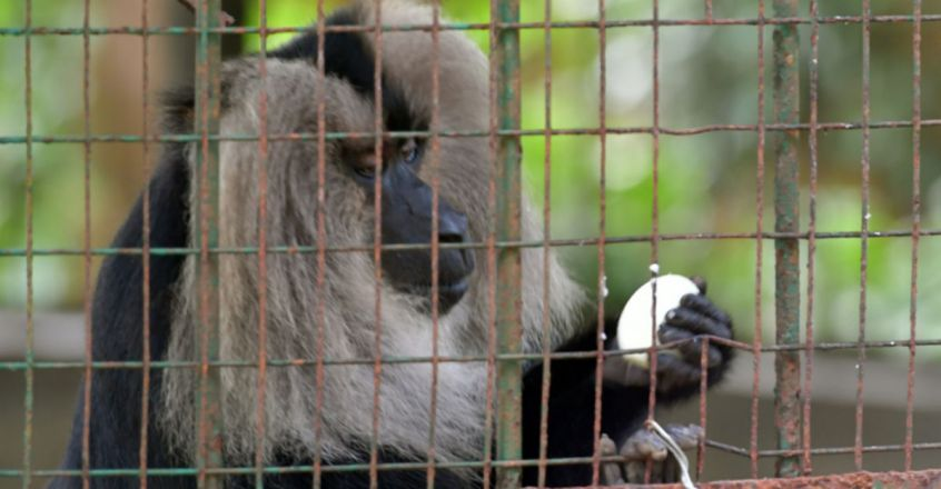 Lion-tailed Macaque eating an egg