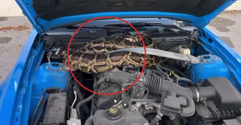 10-Foot Python Found Under The Hood Of A Car